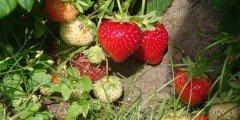 kochane truskawki codojedzenia