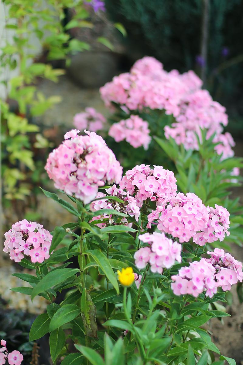 ogród floksy