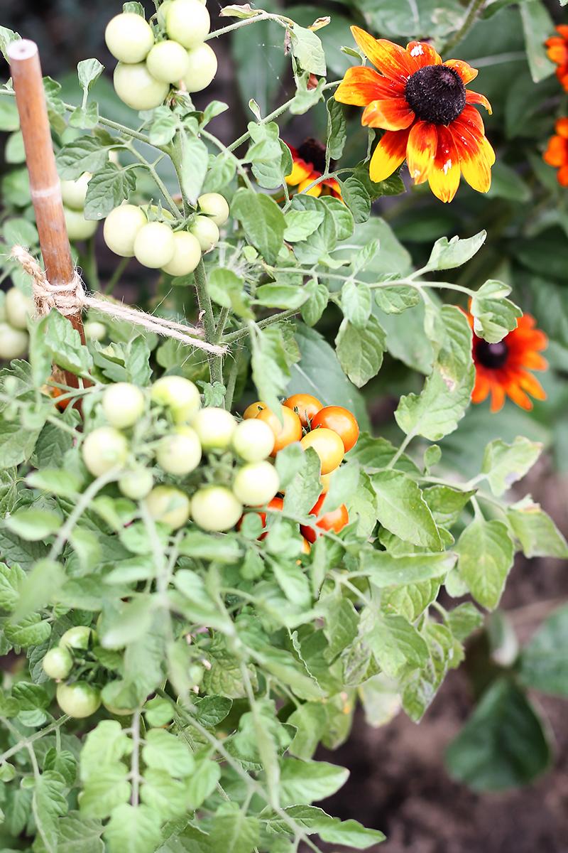 pomidory ogrod codojedzenia